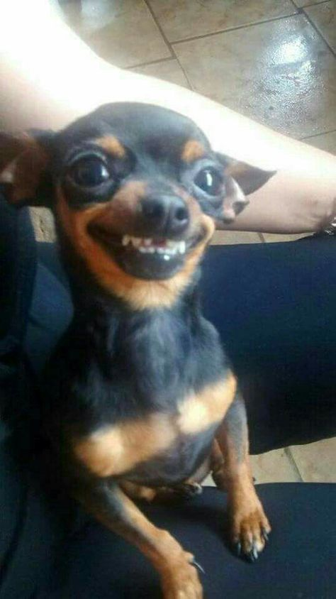 What a precious little doggy! Funny Animal Jokes, Funny Dog Memes, Cute Funny Animals, Cat Memes, Funny Dogs, Smiling Animals, Smiling Dogs, Cute Chihuahua, Chihuahua Puppies