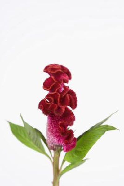 Cockscomb Is The Common Name For Some Cultivars Of Celosia Argentea A Flowering Species With Spectacular Blossoms Cocksco Celosia Plant Plants Celosia Flower