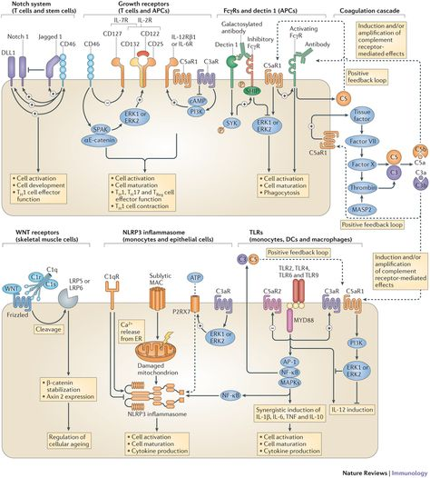 Functional crosstalk between complement and other cell effector systems. : Complement [mdash] tapping into new sites and effector systems : Nature Reviews Immunology : Nature Research