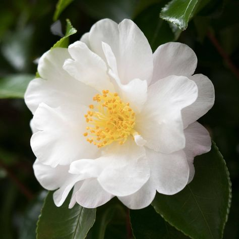 One of the most popular fall-flowering camellias of all time, Mino No Yuki electrifies the late-season garden with snow white, double blooms. Its soft white blossoms contrast with a backdrop of dark green, Beautiful Flowers Pictures, Flower Pictures, Amazing Flowers, Pretty Flowers, White Flowers, Small Flowers, White Flowering Shrubs, Evergreen Shrubs, Low Maintenance Shrubs