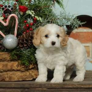 Cavachon Puppies For Sale Cavachon Dog Breed Greenfield Puppies Cavachon Puppies Cavachon Dog Cavachon