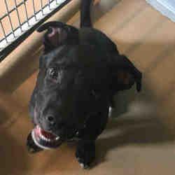 Texas City Tx Labrador Retriever Meet Elijah A Pet For Adoption Labrador Retriever Pet Adoption Pets