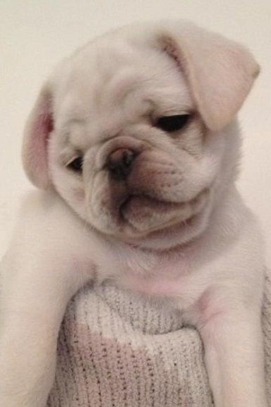 Cute White Pug Puppy Baby Pugs Cute Pugs Pug Puppies