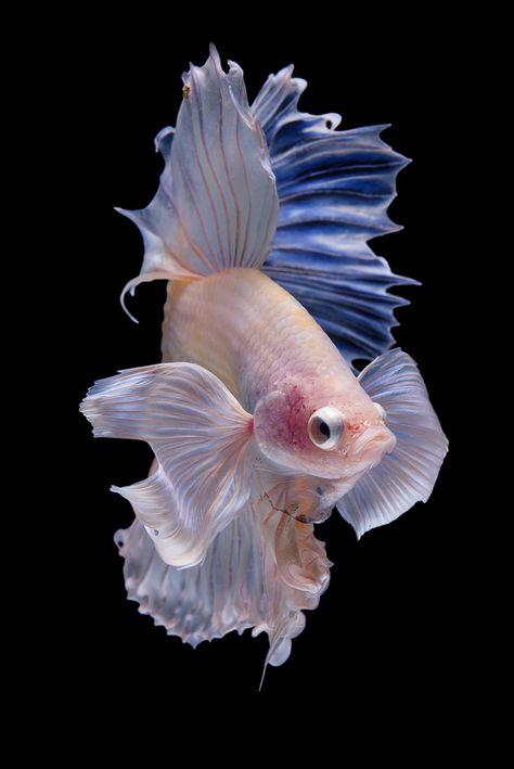 Halfmoon Betta fish on black background.