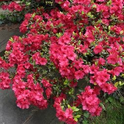 Azalea Sunglow 2 25gal U S D A Hardiness Zones 7 9 1pc National Plant Network In 2020 Plants Fall Landscaping Azaleas