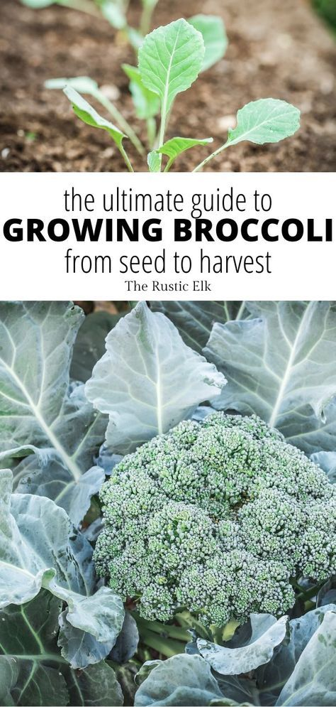38++ When is broccoli ready to harvest information