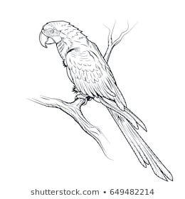 Macaw Parrot Ara Illustration Coloring Page Bird Drawings
