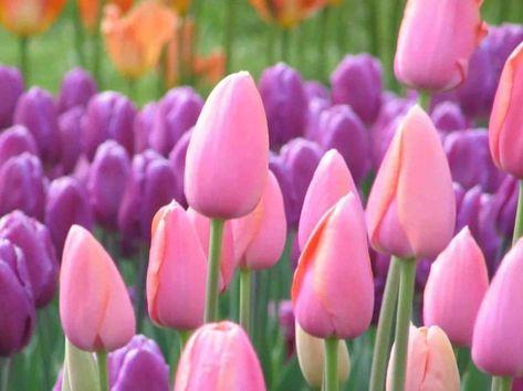 Wallpaper Bunga Hidup Di 2020 Bunga Bunga Tulip
