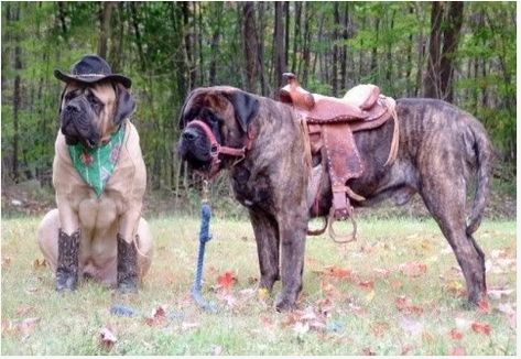 mastiff cowboy!! This is why mastiff's are the best dogs.