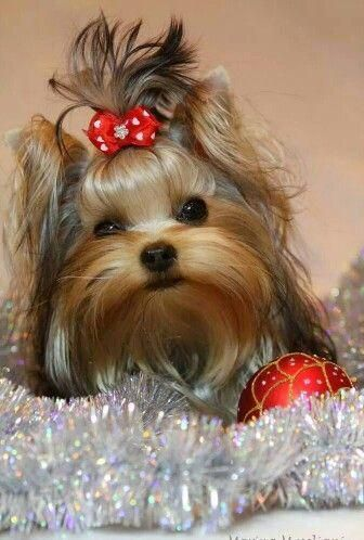 Exceptional Yorkshire Terriers Detail Is Available On Our Internet Site Check It Out And You Wont Be S Yorkshire Terrier Puppies Yorkshire Terrier Yorkie Dogs