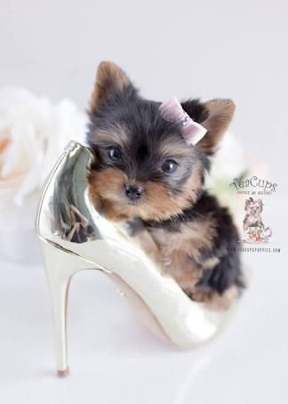 Teacup Puppy Google Search Teacup Puppies Puppy Breeds