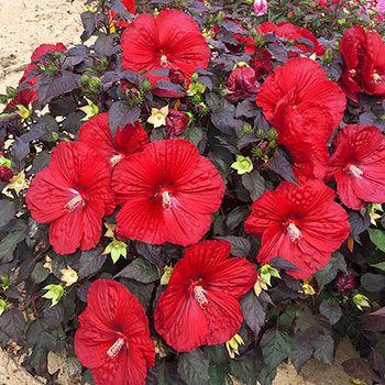 Shop Holy Grail Hibiscus Online Sun Perennials Breck S Hardy Hibiscus Hibiscus Plant Hibiscus Flowers