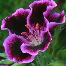 Load image into Gallery viewer, Gloxinia Flower - 100 pcs
