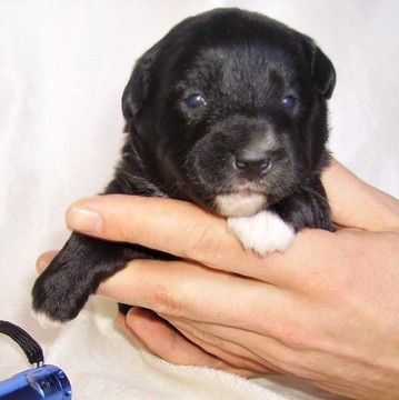Pembroke Welsh Corgi Poodle Miniature Mix Puppy For Sale In Gap