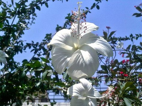 Hibiscus White At Karnal Hibiscus Wikipedia Hibiscus Flower Meaning Hibiscus Hibiscus Garden