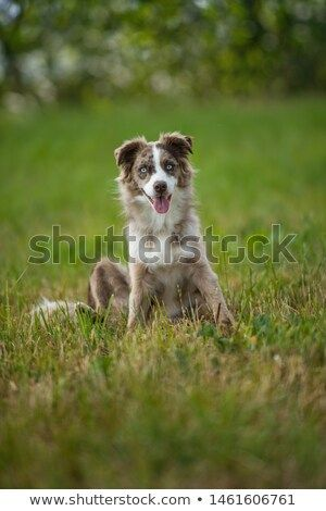 Stock Photo Australian Shepherd Dog Sitting In A Meadow Australian Shepherd Dogs Dog Sitting Dogs