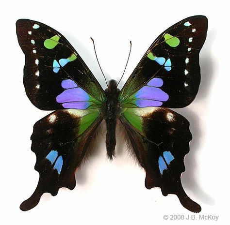*PURPLE SPOTTED SWALLOWTAIL