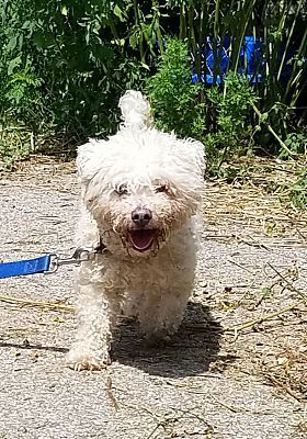 Davisburg Mi Bichon Frise Meet Gracie Pending Adoption Home Quote Case Slim I Love My Bichon Frise Dog Puppies For Puppies For Sale Mic