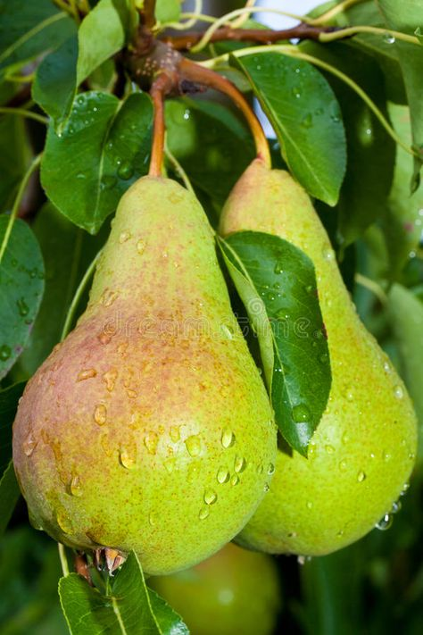 Photo about Freshly picked Pears with a Tree in Background. Image of grow, green, natural - 23393337 Pear Fruit, Fruit And Veg, Fresh Fruit, Fruit Drinks, Fruit Smoothies, Fruit Jello, Fruit Slime, Exotic Fruit, Tropical Fruits