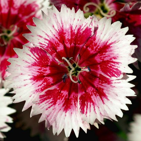A Macro Photo Of A Single Carnation Flower Carnations Carnation Plants Dianthus Flowers