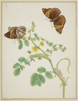 Coffee Senna with Split-Banded Owlet Butterfly