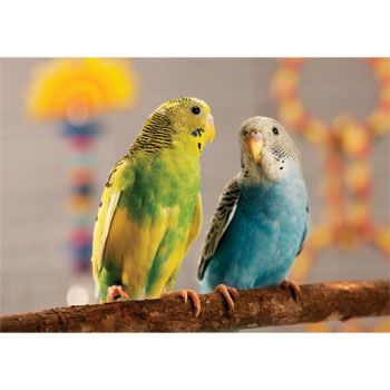 I Had 4 Parakeets That I Got From Petco I Had To Give Them Away Due To My Lovebird Being Agressive With Them I Miss Them Parakeet Budgies Bird Pets