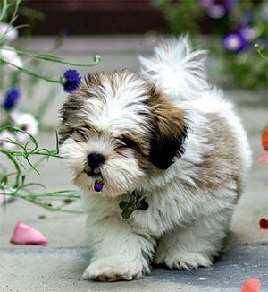 Lhasa Apso Puppies For Sale Lhasa Apso Puppies Lhasa Apso Dog Breeds