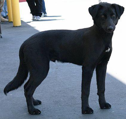 Palmdale Ca Labrador Retriever Meet Nike A Dog For Adoption