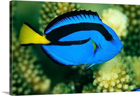 Blue Tang Fish Rainbow Reef Fiji Blue Tang Fish Salt Water Fish Salt Water Fishing
