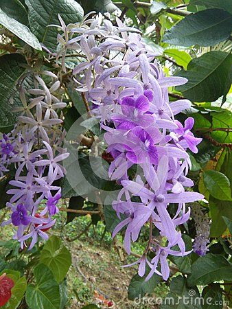 Very Nice Floeer Purple Color And White Color Mixed Good Locstion Purple Colour Flowers Purple Color Flowers