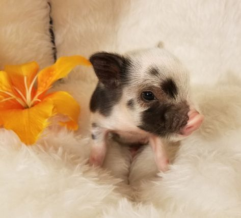 Go To Www Minipocketpigs Com To See Gorgeous Juliana And Mini Baby Pet Pigs For Sale Baby Pigs Cute Baby Pigs Cute Piglets