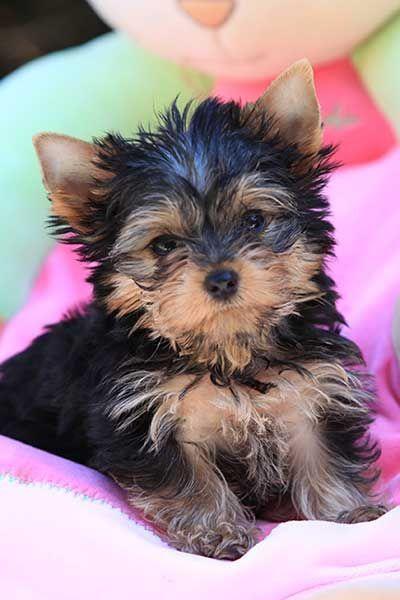 Yorkshire Terriers Yorkie Puppies Breeder Information
