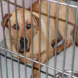 Chicago Ridge Illinois Labrador Retriever Meet Buddy A For Adoption Https Www Adoptapet Com Pet 23583963 Labrador Retriever Dog Adoption Chicago Ridge