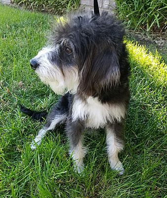 Inland Empire Ca Valentino Is A Tibetan Terrier For Adoption