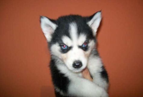For Sale In Ohio Husky Puppy Husky Puppies For Sale Puppies