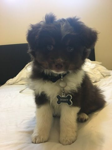 Miniature Australian Shepherd Puppy For Sale In Rancho Cordova Ca