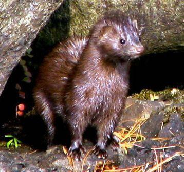 fe36a92156a Wildlife: Everglades Mink | Mink/Otter/Ermine | Pinterest | Mink ...