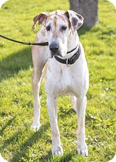 Pictures of Cheatah a Great Dane for adoption in Brookfield