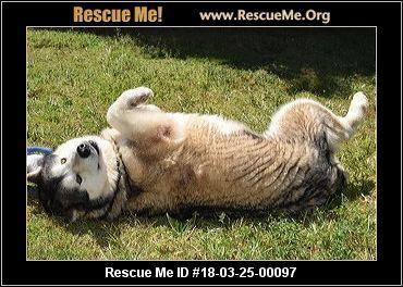 Florida Alaskan Malamute Rescue Adoptions Rescueme Org
