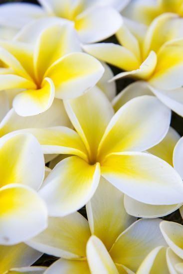 Hawaii Maui Plumeria In Mass Display Photographic Print Terry Eggers B In 2020 Beautiful Flowers Photography Beautiful Flowers Pictures Plumeria Flowers