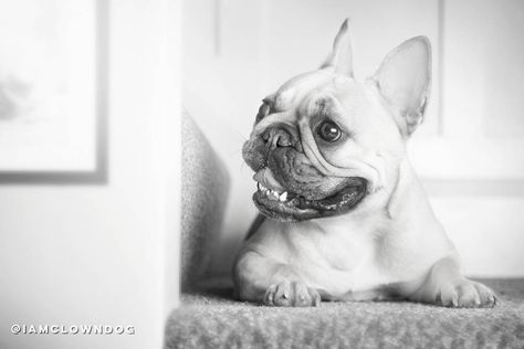 dogsofinstagram Its Friday! SMILE, French...