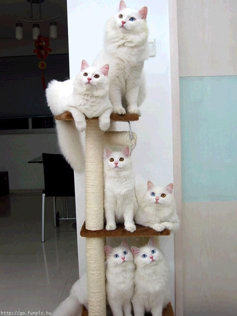 forest of White Norwegian Forest Cats....