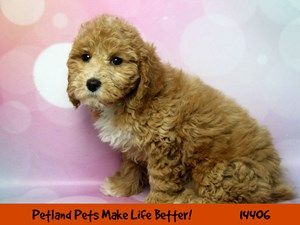 Dogs Puppies For Sale Petland Chicago Ridge Illinois Pet Store Puppies For Sale Puppies Pet Store
