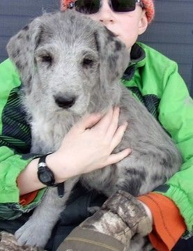 Great Dane Poodle Standard Mix Puppy For Sale In Chariton Ia