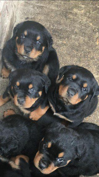 Quality Rottweiler Puppies For Sale In Kuwait Rottweiler Puppies