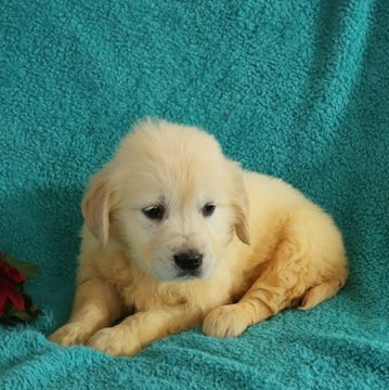 Golden Retriever Puppy For Sale In Gap Pa Adn 59513 On