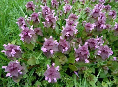 Purpurrote Taubnessel Kostbare Natur In 2020 Essbare Pflanzen Krauterpflanzen Heilpflanzen