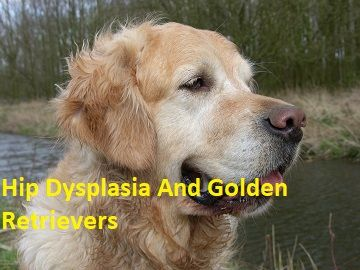 Hip Dysplasia And Golden Retrievers Do Goldens Get Hip Dysplasia