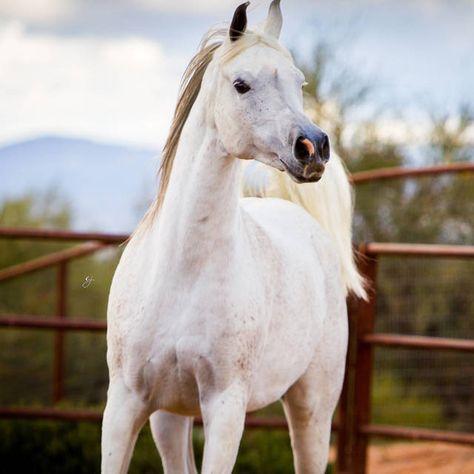 Natalia Bey :: Royal Arabians