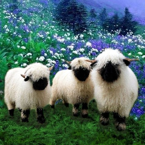 Strange-looking but cute — if you can even see their faces — the Valais Blacknose sheep is a type of mountain-breed sheep from the Valais region of Switzerland. These fancy-looking… Rare Animals, Animals And Pets, Strange Animals, Cute Funny Animals, Cute Baby Animals, Wildlife Photography, Animal Photography, Valais Blacknose Sheep, Sheep Face